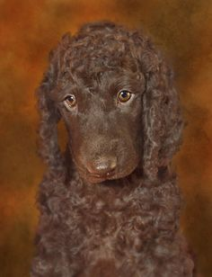 Irish Water Spaniel Sad Puppy   Flickr - Photo Sharing!