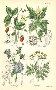 Antique print: picture of Strawberry, Thornapple (poisonous) - Succory (or Chicory), Tansy (culinary use) Vintage Botanical Prints, Botanical Drawings, Antique Prints, Botanical Art, Plant Painting, Wild Strawberries, Nature Illustration, Nature Prints, Fauna