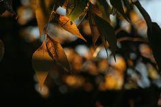 Autumn leafes at sunset