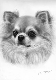 Chihuahua Drawing - petdrawings