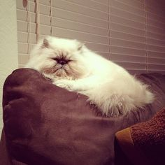Persian Cats and like OMG! get some yourself some pawtastic adorable cat apparel! Teacup Persian Cats, Himalayan Persian Cats, Himalayan Cat, Persian Kittens, Kittens Cutest, Cats And Kittens, Ragdoll Cats, I Love Cats, Cute Cats