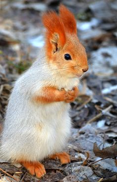 Abert's squirrel (or tassel-eared squirrel) (Sciurus aberti).