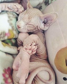 Wrinkles 😍 📸: @Unknown  Is your Sphynx from outer space? ✨😎 👕Get our Limited Edition Sphynx Cat Clothing Now --> LINK IN DESCRIPTION!  Multiple colors available 👌🏻 ONLY 4 DAYS UNTIL SALE ENDS!!! • • • #nakedpussies #sphynx #sphynxcats #catsofinsta #pets #petstagram #nakedpussy #nakedcat #cute #adorable #tee #bigeyes #beautiful #paw #adorable #animals #animallover #nudecat #aww #nakedbabies  #catstagram #spacecat