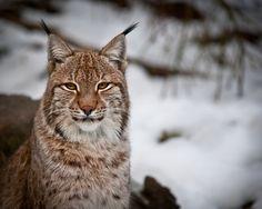 Lynx effect by Marac Andrzej Kolodzinski.