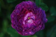 Belle de Crecy (Hybrid Gallica). Introduced before 1829. This rose is pink when it first opens, but finishes with marvelous mauve hues that will knock your socks off! For a superb garden color combination, plant Belle de Crecy with Madame Hardy and Camaieux. Photo from gothiclibrarian.net