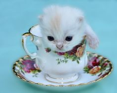 tea cup kittens - Google Search