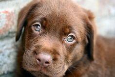 Chocolate lab puppy. Those eyes are stunning