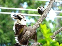 Kookaburra being hassled by noisy miner bird- Nerang, Gold Coast Hinterland, Queensland, Australia Wild Birds, Gold Coast, Bald Eagle, Wildlife, Queensland Australia, Animals, Facebook, Live, Photos