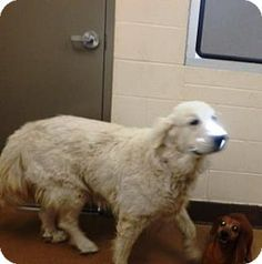 Great Pyrenees Mix Dog for adoption in Apple Valley, California - Emma #160896