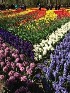 Photo of Amsterdam Keukenhof Gardens and Tulip Fields Tour from Amsterdam Tulips at Keukenhof Gardens