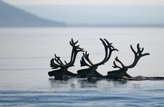Reindeer in Norway   ...........click here to find out more     http://googydog.com