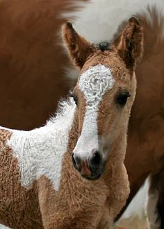 "Curly horse foal. Curly horses are known for having extremely calm, intelligent, friendly, curious and willing personalities, often being described as having ""puppy dog"" temperaments."