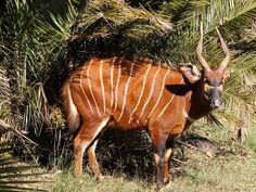 Bongo (Tragelaphus eurycerus) by Derek Keats, via Flickr Big Animals, Rare Animals, Unique Animals, Animals Beautiful, Reptiles, Mammals, Weird And Wonderful, Congo, Animal Kingdom