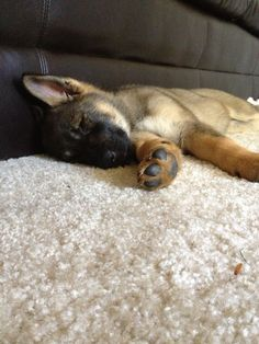 Sleepy pup! Bff, Dogs, Animals, Animaux, Doggies, Animales, Animal, Pet Dogs, Dieren