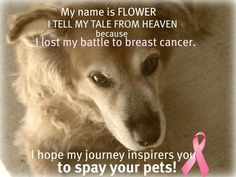 •Breast Cancer in dogs can be prevented by the early spaying of female dogs. •Intact dogs are 7 times more likely to develop breast cancer. •Dogs spayed before coming into their first heat have a very small chance of developing breast cancer. • 1of 4 intact dogs over 4 years of age will probably develop 1 or more breast tumors in their lives, about half of such tumors are malignant. 75% of these malignant tumors will kill the dog by recurrence or metastasizing to the lungs within two years.