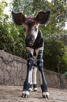 Amazing Animals, Unusual Animals, Rare Animals, Zoo Animals, Cute Baby Animals, Animals Beautiful, Animals And Pets, Funny Animals, Okapi
