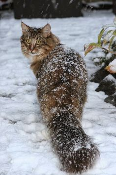 Norwegian Forest Cat in the snow. Photo by Pieter Lanser [CC-BY-2.0], via Wikimedia Commons.