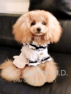 I'm so ready to get another poodle, best dogs ever! French Dogs, French Poodles, Cute Puppies, Cute Dogs, Dogs And Puppies, Doggies, Poodle Grooming, Dog Grooming, I Love Dogs