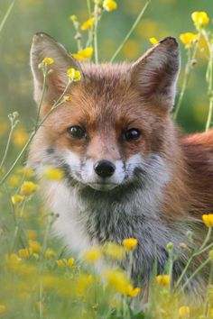 """Fox Amongst The Buttercups."""