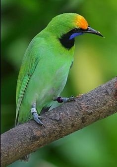 Greater Green Leafbird male, Chloropsis sonnerati: SE Asia by  Zosterops
