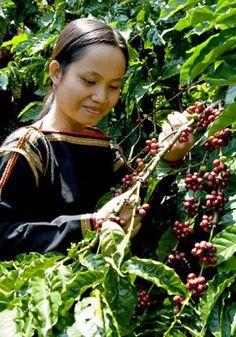 Кофе вьетнамский  как приготовить в  кофе — фильтре рецепты с фото Вьетнамский кофе пользуется последнее время огромной популярностью  Рецепты приготовления не оставят равнодушными никого. Все о вьетнамском кофе   объективно.