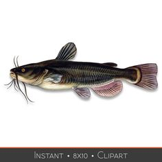 Fish Clip art Bullhead Catfish Instant by eDesignsVintage