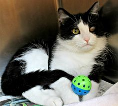 Meet C-57580 Tokyo a Petfinder adoptable Domestic Medium Hair-black and white Cat | Mount Holly, NJ | Hello! My name is Tokyo. I am a black and white, small, young male cat with medium hair.  I like...