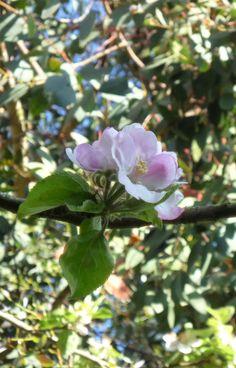 Apple Blossom April