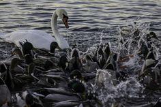 Shut up ducks. Now we dive.  Suu kiinni sorsat. Nyt sukelletaan. | Kuvakuja.fi