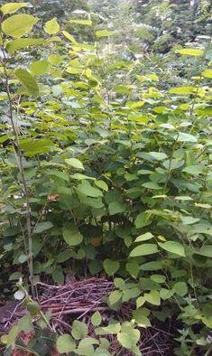 Unkrautgourmet - Wildkräuter und Wildpflanzen essen: Senf vom japanischen Staudenknöterich