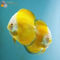 Millenium Golden Discus Pair #discus #diskus #diskusfische #aquarium…