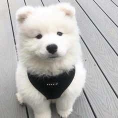 Two Black Dogs - - - Samoyed Dogs Aesthetic - - Really Cute Puppies, Super Cute Puppies, Cute Baby Dogs, Cute Dogs And Puppies, Samoyed Dogs, Pet Dogs, Dog Cat, Doggies, Pets