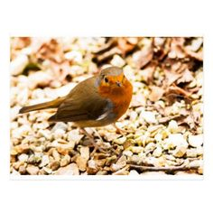 Little Robin Redbreast Postcard - christmas cards merry xmas family party holidays cyo diy greeting card
