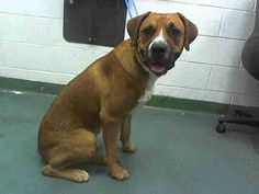 ONLY 1 SHARE!!! BENNY (A1645241) I am a male tricolor Labrador Retriever and Boxer.  The shelter staff think I am about 1 year old.  I was found as a stray and I may be available for adoption on 09/22/2014. — hier: Miami Dade County Animal Services. https://www.facebook.com/urgentdogsofmiami/photos/pb.191859757515102.-2207520000.1411328527./841089082592163/?type=3&theater