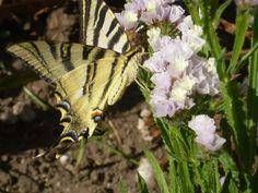 Bolboreta en flor de pensamento