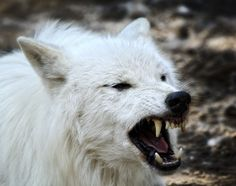 wolf wolves deviantart warrior angry snow facts serious growling animals arctic side dangerous head must know animal most google whitewolf