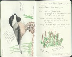 Chickadee & Notes - A watercolor pencil sketch of one of the black-capped chickadees that visit the tree outside the kitchen window, with notes on the bird from the field guide.