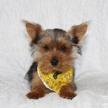 Yorkie Breeders in Colorado - Healthy Yorkie Puppies for Sale in Colorado