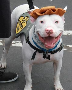 Sweet Sully, the smiling blind Pittie is sporting a hat and adoption vest.... He is available for adoption, and is currently residing in Laguna Niguel, California, and is sponsored by Icare Dog Rescue