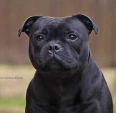 Uplifting So You Want A American Pit Bull Terrier Ideas. Fabulous So You Want A American Pit Bull Terrier Ideas. Stafford Bull Terrier, Staffordshire Bull Terrier Puppies, Bull Terrier Dog, Staffy Dog, Nanny Dog, Dogs And Puppies, Doggies, Beautiful Dogs, Dog Life
