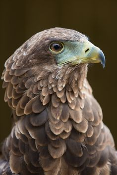 Bateleur Eagle by Cal Holman                              …