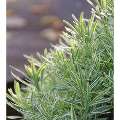 lavendula augustifolia 'Platinum blonde'