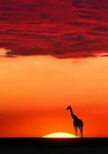 Giraffe in Africa -