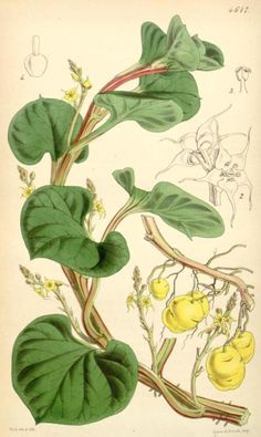 Ullucus tuberosus from Curtis's Botanical Magazine by the great William Jackson Hooker, 1851