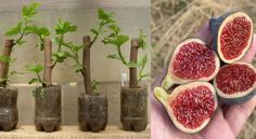 Grow your own fig tree in 30 daysUnderstanding about Bonsai in Whitestown, New York Vegetable Garden, Garden Plants, Indoor Plants, House Plants, Fruit Plants, Fruit Trees, Ficus, Organic Gardening, Gardening Tips