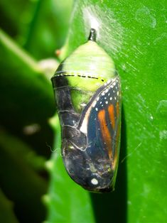 So amazing… this Monarch Butterfly will soon emerge from its Chrysalis.