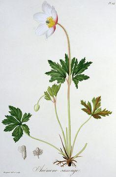 Wood Anemone Painting