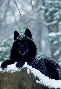 Black Wolf relaxing in the Snow