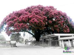 Árvore da espécie Sapucaeira -Japuíba-Cachoeiras de Macacu - Rio de Janeiro