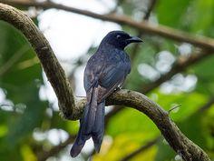 AndamanDrongo (Dicrurus andamanensis) byBalaji_Venkatesh_Sivaramakrishnan.